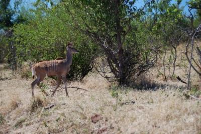 047_kudu.jpg