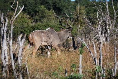 061_kudu.jpg
